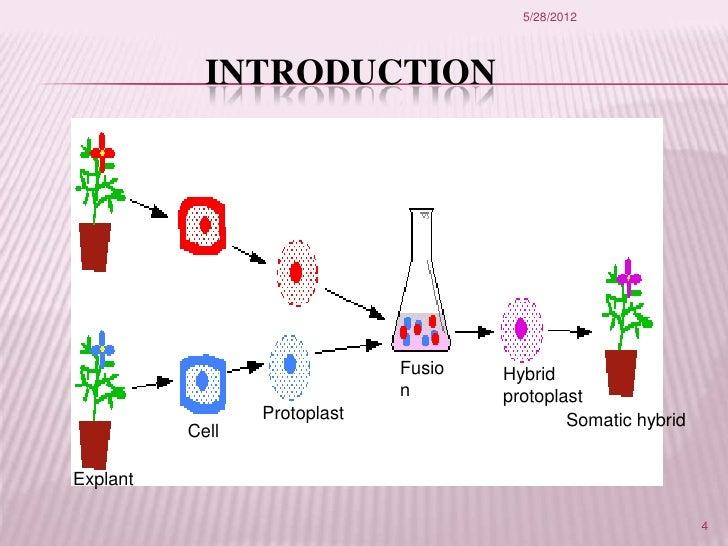 Ppt somatic hybridization powerpoint presentation id:1270961.