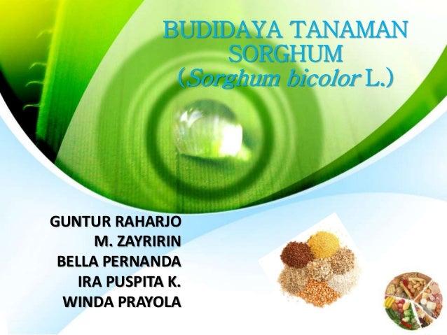 BUDIDAYA TANAMAN  SORGHUM  (Sorghum bicolor L.)  GUNTUR RAHARJO  M. ZAYRIRIN  BELLA PERNANDA  IRA PUSPITA K.  WINDA PRAYOL...