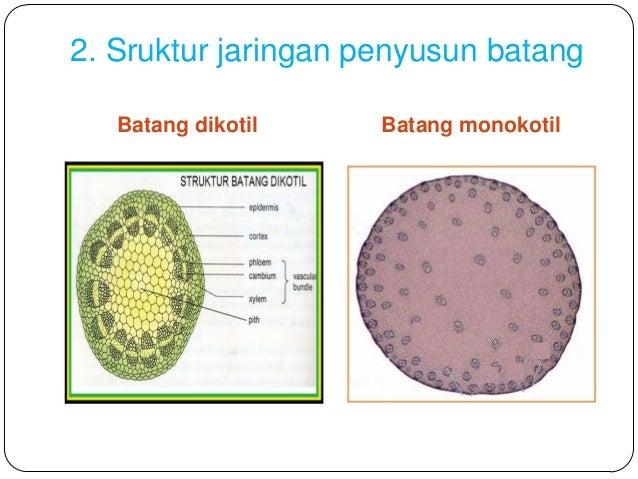 Struktur Jaringan Penyusun Batang Monokotil Dan Dikotil
