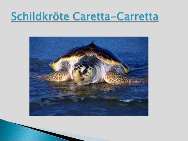 Die Decksaison beginnt im Frühjahr Meer. Dannwird jeder Brutzeit legt das Weibchen drei bis vierMal in den Abendstunden. S...