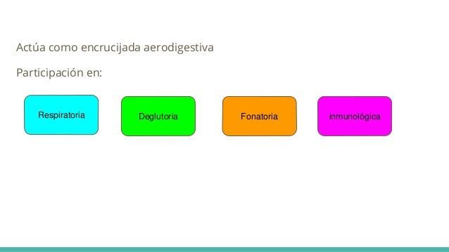 Actúa como encrucijada aerodigestiva Participación en: Respiratoria Deglutoria Fonatoria inmunológica
