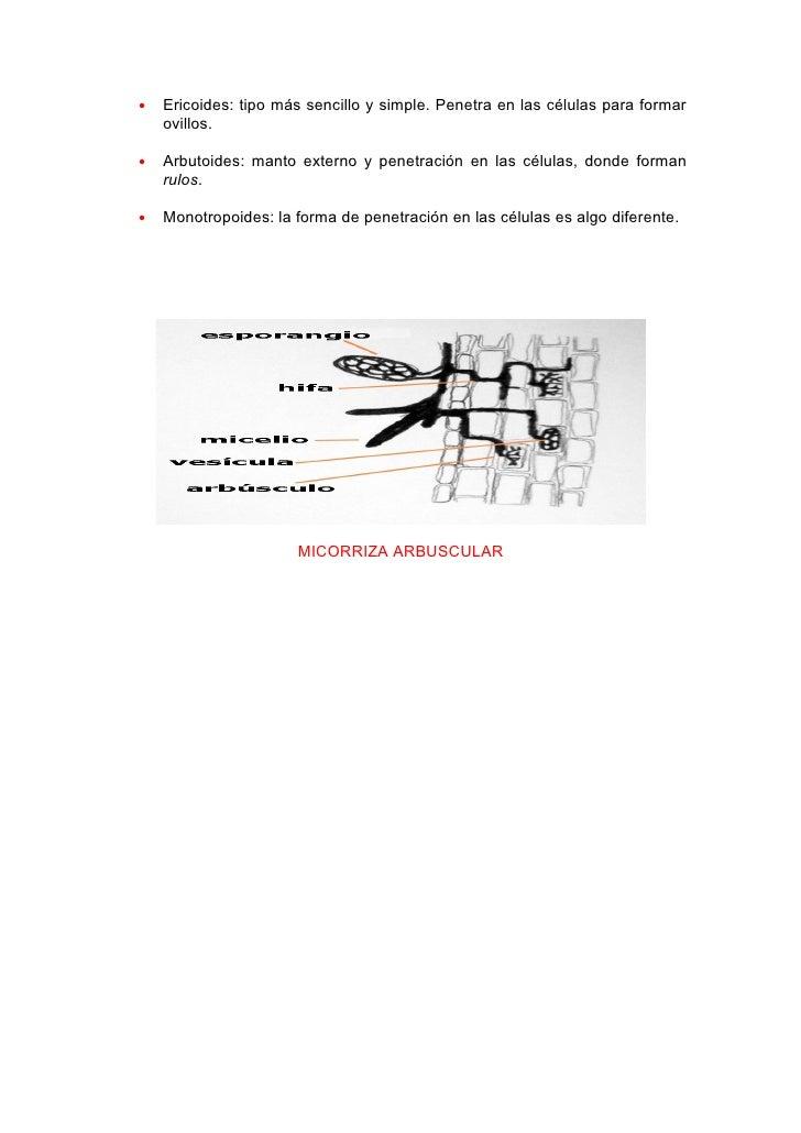•   Ericoides: tipo más sencillo y simple. Penetra en las células para formar     ovillos.  •   Arbutoides: manto externo ...