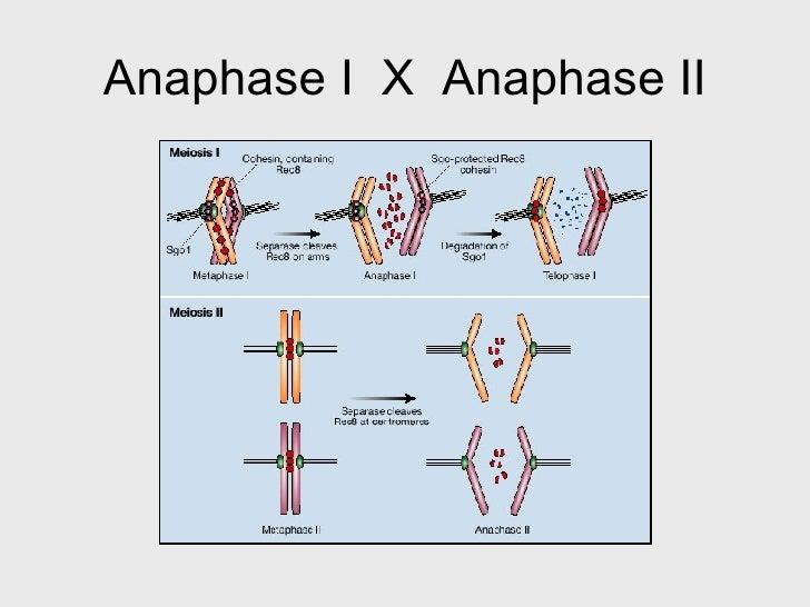 Practical 3 07 anaphase i x anaphase ii ccuart Images