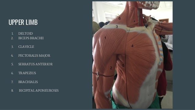 Practical Anatomy Anatomy Models Labeled For Medical Students