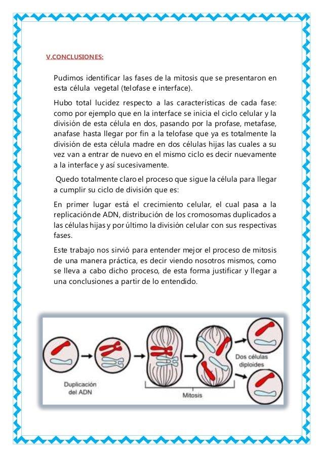 Asombroso Etapas De La Mitosis Hoja De Trabajo Bandera - hojas de ...