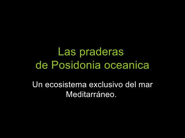 Las praderas  de Posidonia oceanica Un ecosistema exclusivo del mar Meditarráneo.
