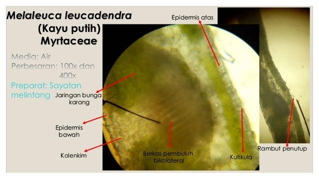 Praktikum botani farmasi anatomi daun 15 ccuart Image collections