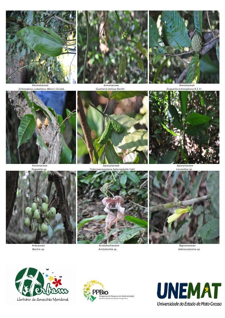 Alismataceae                            Annonaceae                          AnnonaceaeEchinodorus subalatus (Mart.) Griseb...