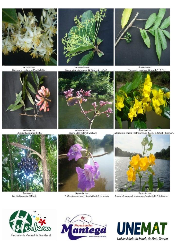 Achariaceae                        Anacardiaceae                                               AnnonaceaeLindackeria palud...