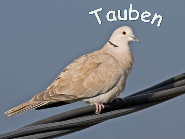 """Columbidae"" (Tauben)  Überklasse: Reihe: Klasse: Ordnung: Familie:  Kiefermäuler (Gnathostomata) Landwirbeltiere (Tetrapo..."