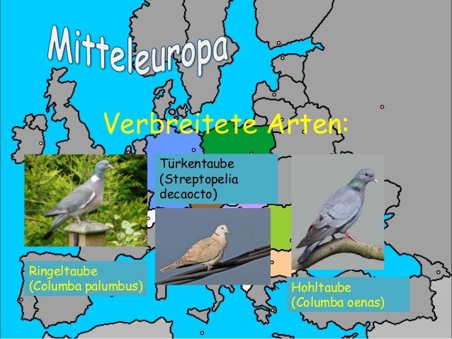 Verbreitete Arten 2:  Turteltaube (Streptopelia turtur)  Stadttaube / Strassentaube (Columba livia forma domestica