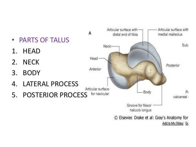 Talus bone anatomy