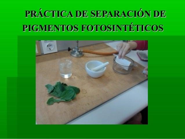 PRÁCTICA DE SEPARACIÓN DEPIGMENTOS FOTOSINTÉTICOS