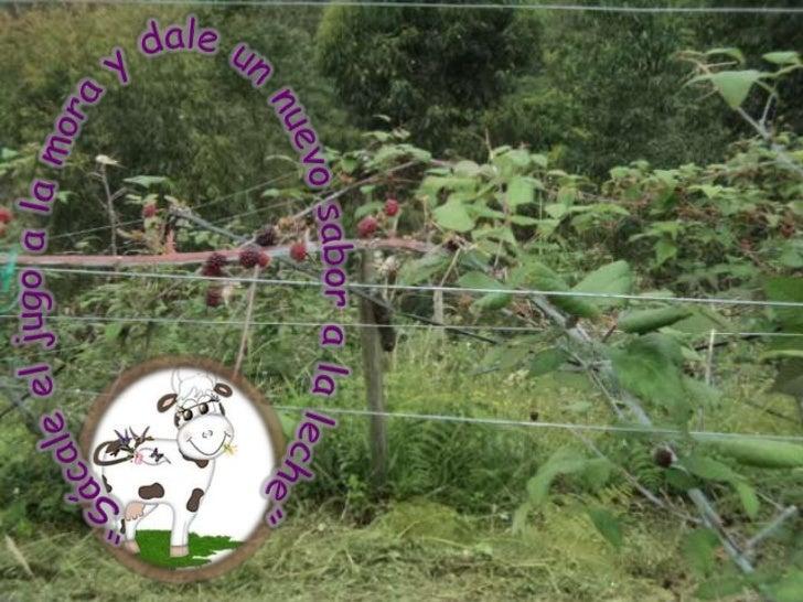 oIdentificar el proceso de producción y mercadeode la mora y la leche para a partir de ello integrar            las áreas ...