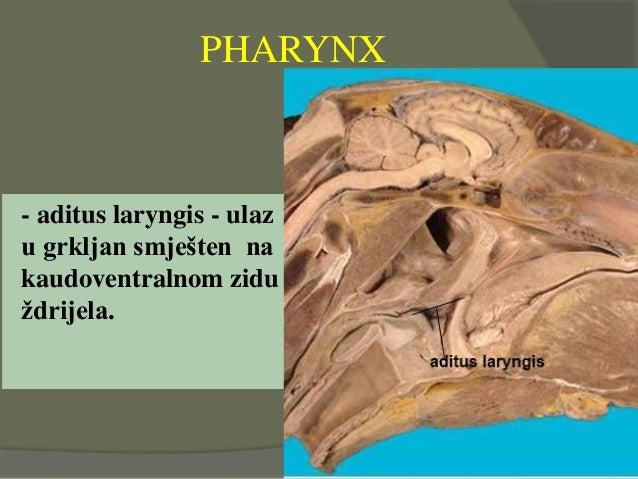 - aditus laryngis - ulaz u grkljan smješten na kaudoventralnom zidu ždrijela. PHARYNX