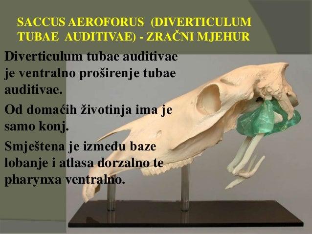 SACCUS AEROFORUS (DIVERTICULUM TUBAE AUDITIVAE) - ZRAČNI MJEHUR Diverticulum tubae auditivae je ventralno proširenje tubae...