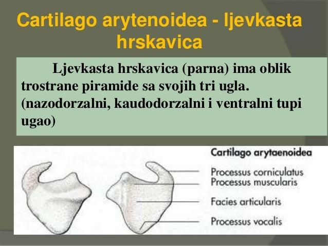 Cartilago arytenoidea - ljevkasta hrskavica Ljevkasta hrskavica (parna) ima oblik trostrane piramide sa svojih tri ugla. (...