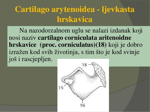 Cartilago arytenoidea - ljevkasta hrskavica Na nazodorzalnom uglu se nalazi izdanak koji nosi naziv cartilago corniculata ...