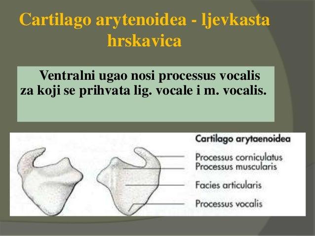 Cartilago arytenoidea - ljevkasta hrskavica Ventralni ugao nosi processus vocalis za koji se prihvata lig. vocale i m. voc...
