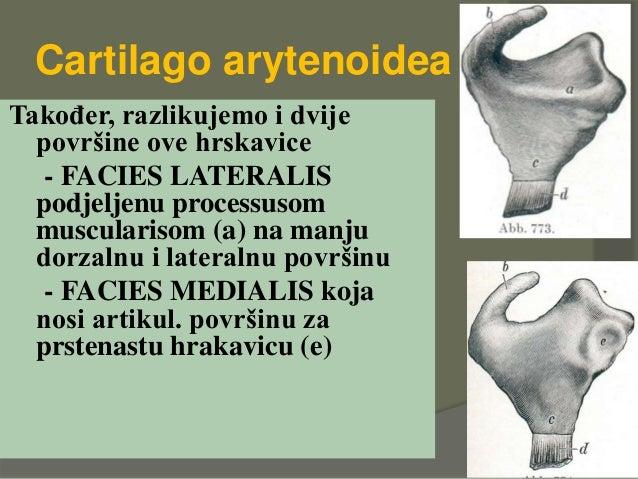 Cartilago arytenoidea Također, razlikujemo i dvije površine ove hrskavice - FACIES LATERALIS podjeljenu processusom muscul...