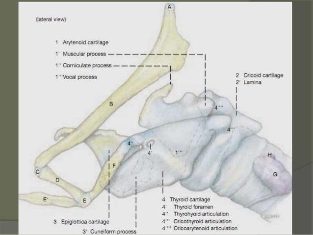 Ligamenti i membrane koje povezuju hrskavice grkljana