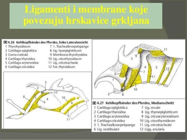 Mišići grkljana – unutrašnji i vanjski