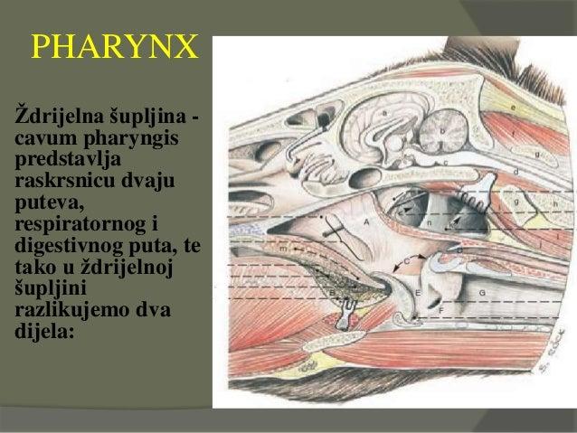 PHARYNX Ždrijelna šupljina - cavum pharyngis predstavlja raskrsnicu dvaju puteva, respiratornog i digestivnog puta, te tak...