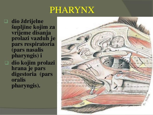  dio ždrijelne šupljine kojim za vrijeme disanja prolazi vazduh je pars respiratoria (pars nasalis pharyngis) i  dio koj...