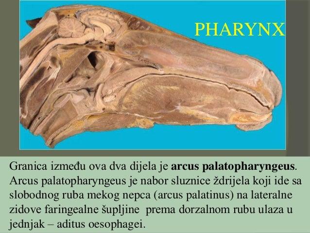 PHARYNX Granica između ova dva dijela je arcus palatopharyngeus. Arcus palatopharyngeus je nabor sluznice ždrijela koji id...