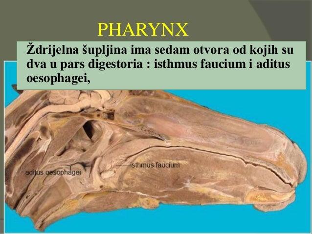 PHARYNX Ždrijelna šupljina ima sedam otvora od kojih su dva u pars digestoria : isthmus faucium i aditus oesophagei,