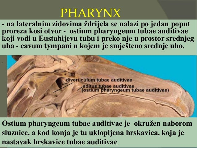 PHARYNX - na lateralnim zidovima ždrijela se nalazi po jedan poput proreza kosi otvor - ostium pharyngeum tubae auditivae ...