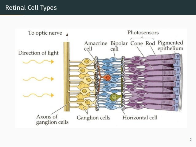 Retinal Cell Types 2