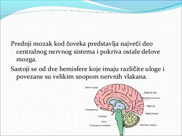 Uloga hemisfera Regulisanje pokretljivosti mišića suprotnih strana  tela Funkcije leve hemisfere: govor, pisanje i rešav...