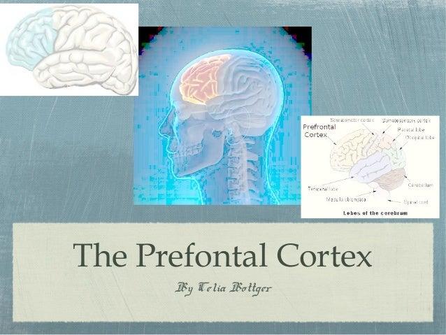 The Prefontal Cortex By Celia Bottger