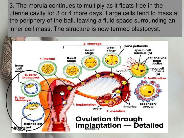 implantation<br /><ul><li>occurs on the seventh day after fertilization