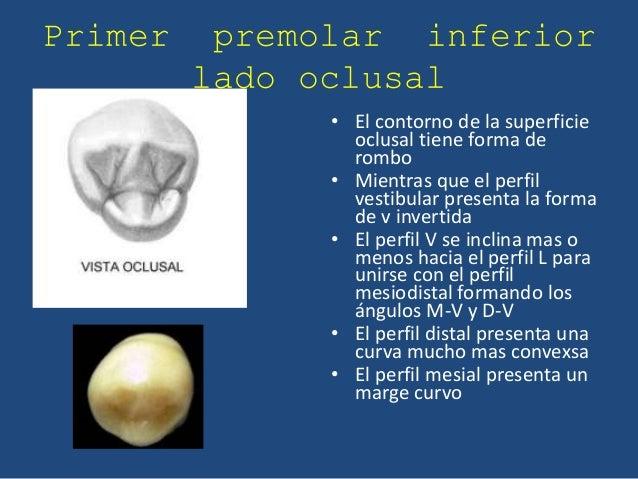 Anatomia Premolares inferiores
