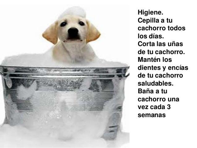 Higiene. Cepilla a tu cachorro todos los días. Corta las uñas de tu cachorro. Mantén los dientes y encías de tu cachorro s...