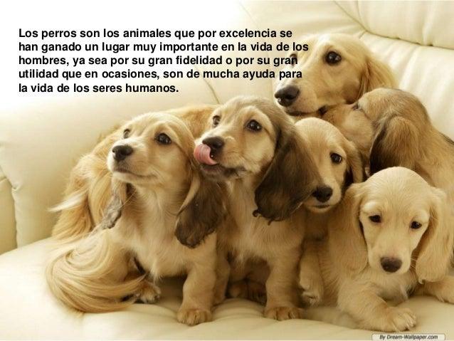 Los perros son los animales que por excelencia se han ganado un lugar muy importante en la vida de los hombres, ya sea por...