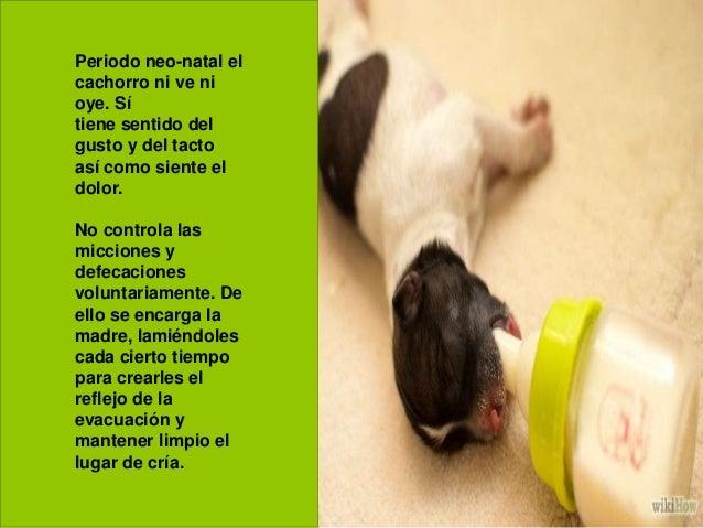 Periodo neo-natal el cachorro ni ve ni oye. Sí tiene sentido del gusto y del tacto así como siente el dolor. No controla l...