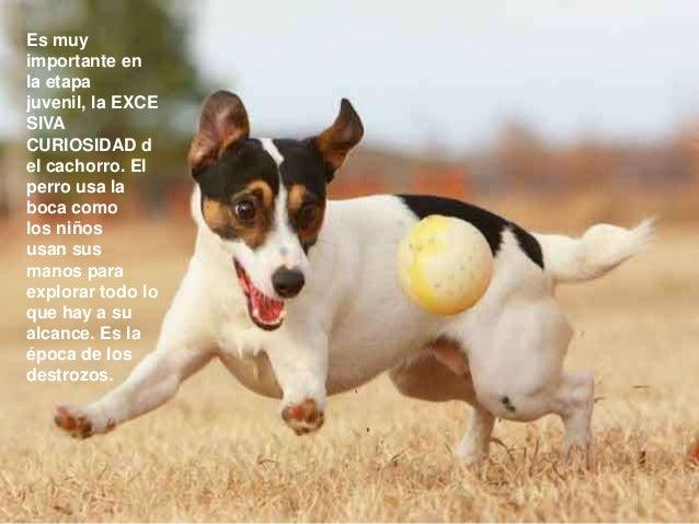 Es muy importante en la etapa juvenil, la EXCE SIVA CURIOSIDAD d el cachorro. El perro usa la boca como los niños usan sus...