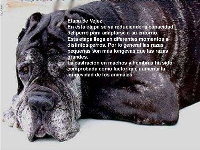 Etapa de Vejez En esta etapa se va reduciendo la capacidad del perro para adaptarse a su entorno. Esta etapa llega en dife...