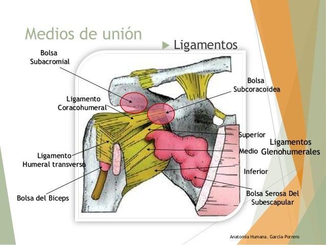 Escapulohumeral Escapulohumeral Articulación Articulación Articulación Articulación Articulación Escapulohumeral Escapulohumeral VSUMpz