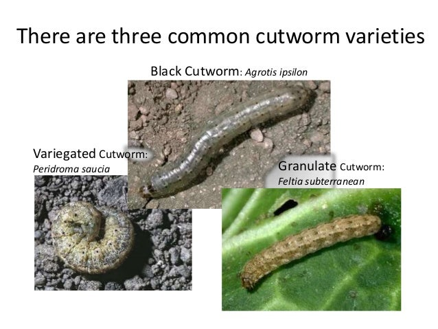 There are three common cutworm varieties  Black Cutworm: Agrotis ipsilon  Granulate Cutworm:  Feltia subterranean  Variega...
