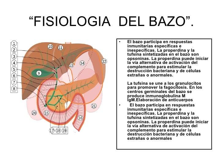 Increíble Ubicación Bazo Anatomía Humana Composición - Anatomía de ...