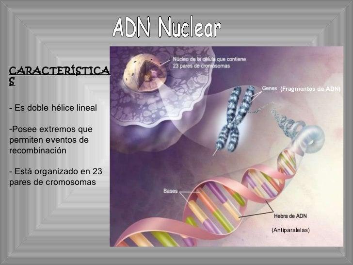 ADN Nuclear (Antiparalelas) (Fragmentos de ADN) <ul><li>CARACTERÍSTICAS </li></ul><ul><li>Es doble hélice lineal </li></ul...