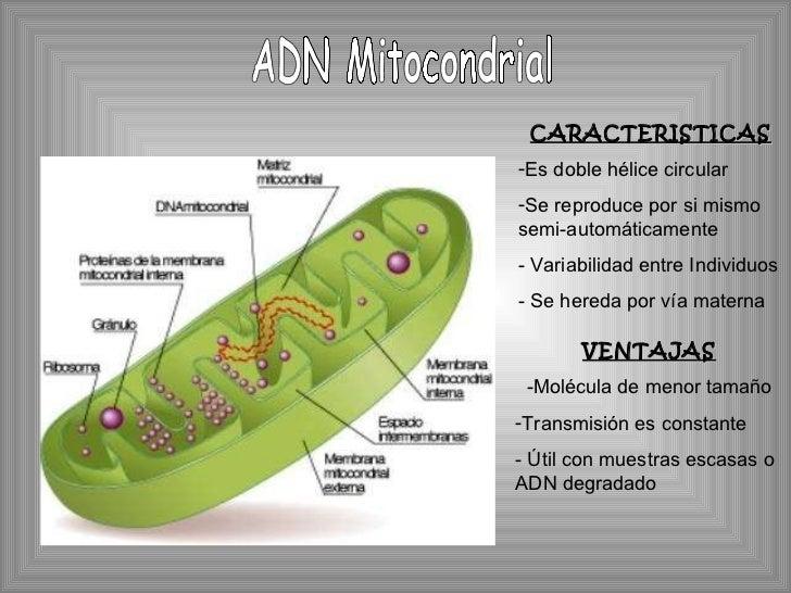 ADN Mitocondrial <ul><li>CARACTERISTICAS </li></ul><ul><li>Es doble hélice circular </li></ul><ul><li>Se reproduce por si ...