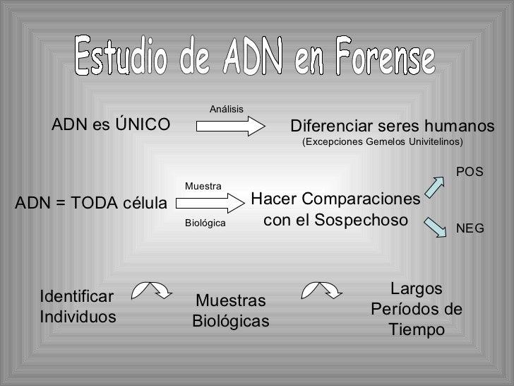 <ul><li>ADN es ÚNICO </li></ul>Estudio de ADN en Forense Diferenciar seres humanos Análisis ADN = TODA célula Muestra Biol...