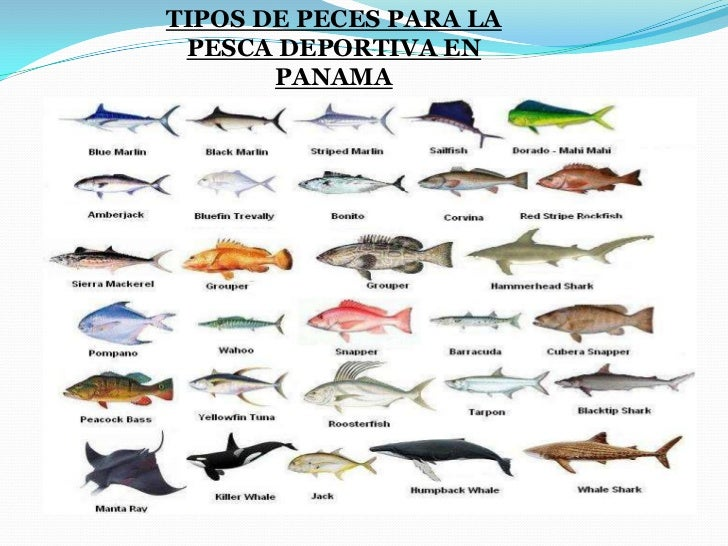 Marinadeportivas for Tipos de peces ornamentales