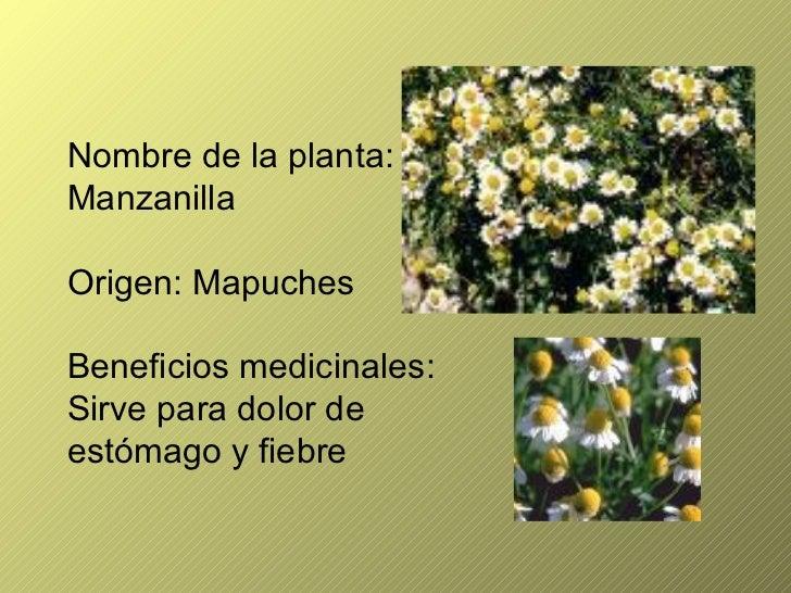 Plantas medicinales for Manzanilla planta medicinal para que sirve