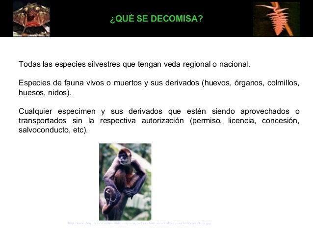 ¿QUÉ SE DECOMISA?  Todas las especies silvestres que tengan veda regional o nacional. Especies de fauna vivos o muertos y ...
